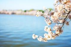 Flores de cereza en Washington DC Imágenes de archivo libres de regalías