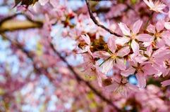 Flores de cereza hermosos Foto de archivo libre de regalías