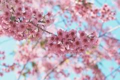 Flores de cereza hermosos Imagen de archivo libre de regalías