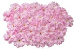 Flores de cereza japoneses Foto de archivo libre de regalías