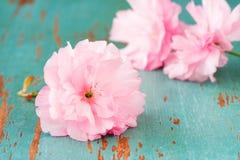 Flores de cereza japoneses Fotografía de archivo libre de regalías