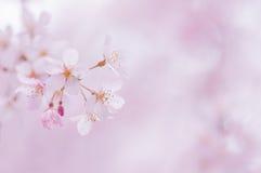 Flores de cereza japoneses Imagen de archivo libre de regalías