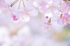 Flores de cereza japoneses Fotografía de archivo