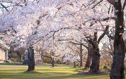 Flores de cereza japoneses de Sakura Fotografía de archivo