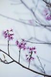 Flores de cerezas Imagen de archivo libre de regalías