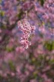 Flores de cerezas Fotografía de archivo
