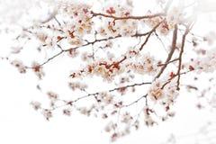 Flores de cerezo Imagen de archivo