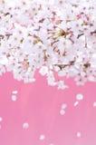 Flores de cerezo imágenes de archivo libres de regalías