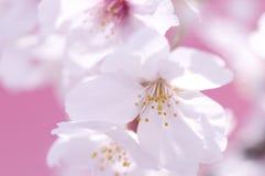 Flores de cerezo Fotos de archivo