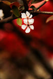 Flores de cerezo abiertas en el ¼ Œ China de Marchï Fotos de archivo