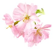 Flores de cerezo aisladas en blanco Foto de archivo