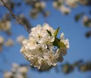 Flores de cerezo blancas en fondo del cielo imagen de archivo