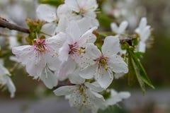 Flores de cerezo blancas en la plena floración Fotos de archivo libres de regalías