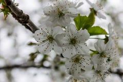 Flores de cerezo blancas en la plena floración Imagen de archivo