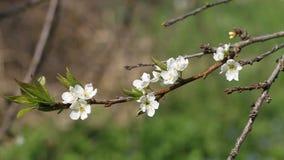 Flores de cerezo blancas hermosas en el jardín almacen de video