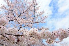 Flores de cerezo blancas preciosas, o Sakura, floreciendo en un árbol en Japón en primavera Imagen de archivo