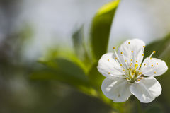 Flores de cerezo blancas, sol, macro Imágenes de archivo libres de regalías
