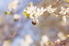 Flores de cerezo blancas y una abeja Fotos de archivo