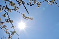 Flores de cerezo con el sol agradable del color de fondo  Fotos de archivo