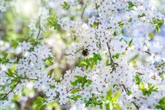 Flores de cerezo con el sol en primavera Fotos de archivo
