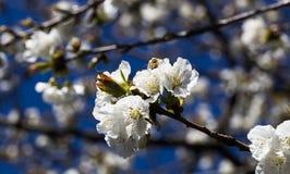 Flores de cerezo con la abeja Fotografía de archivo libre de regalías