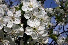 Flores de cerezo contra el cielo fotos de archivo