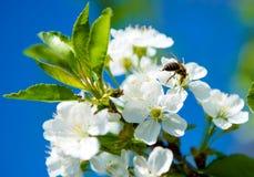 Flores de cerezo contra el cielo. Foto de archivo