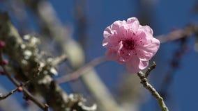 Flores de cerezo contra un cielo azul metrajes