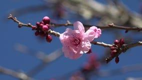Flores de cerezo contra un cielo azul almacen de video