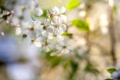 Flores de cerezo contra un cielo azul fotos de archivo