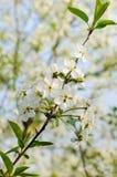 Flores de cerezo contra un cielo azul Imagen de archivo