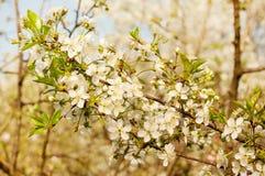 Flores de cerezo contra un cielo azul Fotografía de archivo libre de regalías
