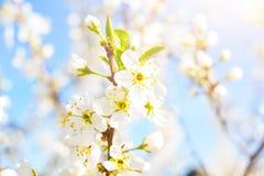 Flores de cerezo contra un cielo azul Flores blancas en árbol Fotos de archivo libres de regalías