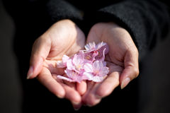 Flores de cerezo de Kawazu Fotografía de archivo libre de regalías