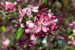 Flores de cerezo de la estación de primavera que florecen bajo luz del sol de la primavera Imagenes de archivo