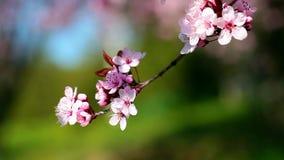 Flores de cerezo de la primavera, flores rosadas almacen de metraje de vídeo