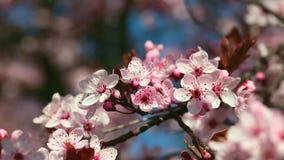 Flores de cerezo de la primavera, flores rosadas almacen de video