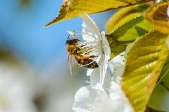 Flores de cerezo de polinización de la abeja ocupada en primavera Imagen de archivo libre de regalías