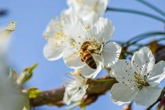 Flores de cerezo de polinización de la abeja ocupada en primavera Fotos de archivo