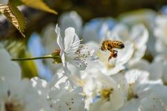 Flores de cerezo de polinización de la abeja ocupada en primavera Foto de archivo