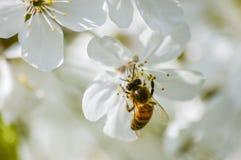 Flores de cerezo de polinización de la abeja ocupada en primavera Fotografía de archivo libre de regalías