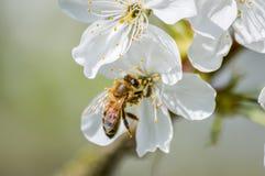 Flores de cerezo de polinización de la abeja ocupada en primavera Imágenes de archivo libres de regalías