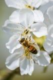 Flores de cerezo de polinización de la abeja ocupada en primavera Imagenes de archivo