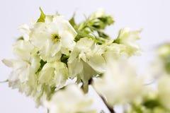 Flores de cerezo del doble del verde amarillo fotos de archivo