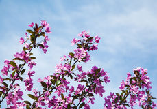 Flores de cerezo del árbol de la primavera Fotografía de archivo libre de regalías