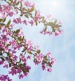 Flores de cerezo del árbol de la primavera Foto de archivo