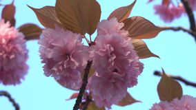 flores de cerezo Doble-florecidas en la plena floración en la salida del sol almacen de metraje de vídeo