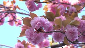 flores de cerezo Doble-florecidas en la plena floración en la salida del sol metrajes
