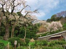 Flores de cerezo en Chokoji (templo), ciudad de Odawara Imagenes de archivo