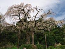 Flores de cerezo en Chokoji (templo), ciudad de Odawara Foto de archivo